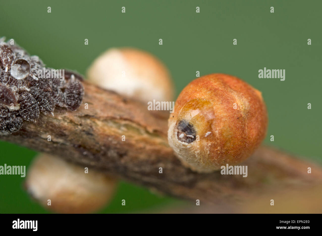 Gumtree scale nymphs and adult females - Stock Image