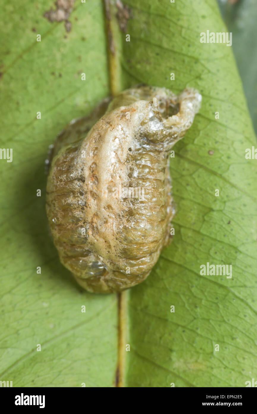 Praying Mantis Egg Case Stock Photo Alamy