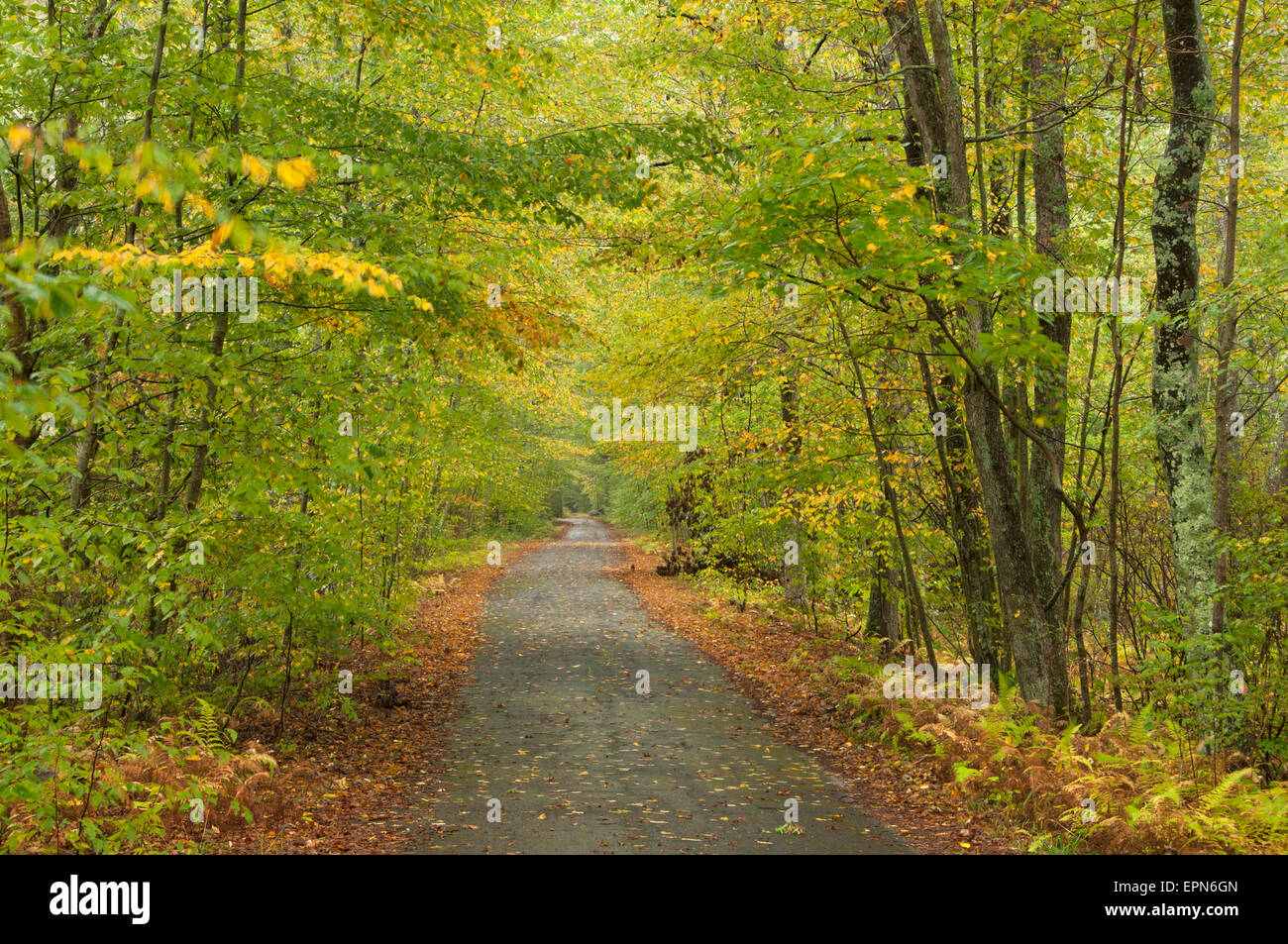 Forest road, James L Goodwin State Forest, Connecticut - Stock Image