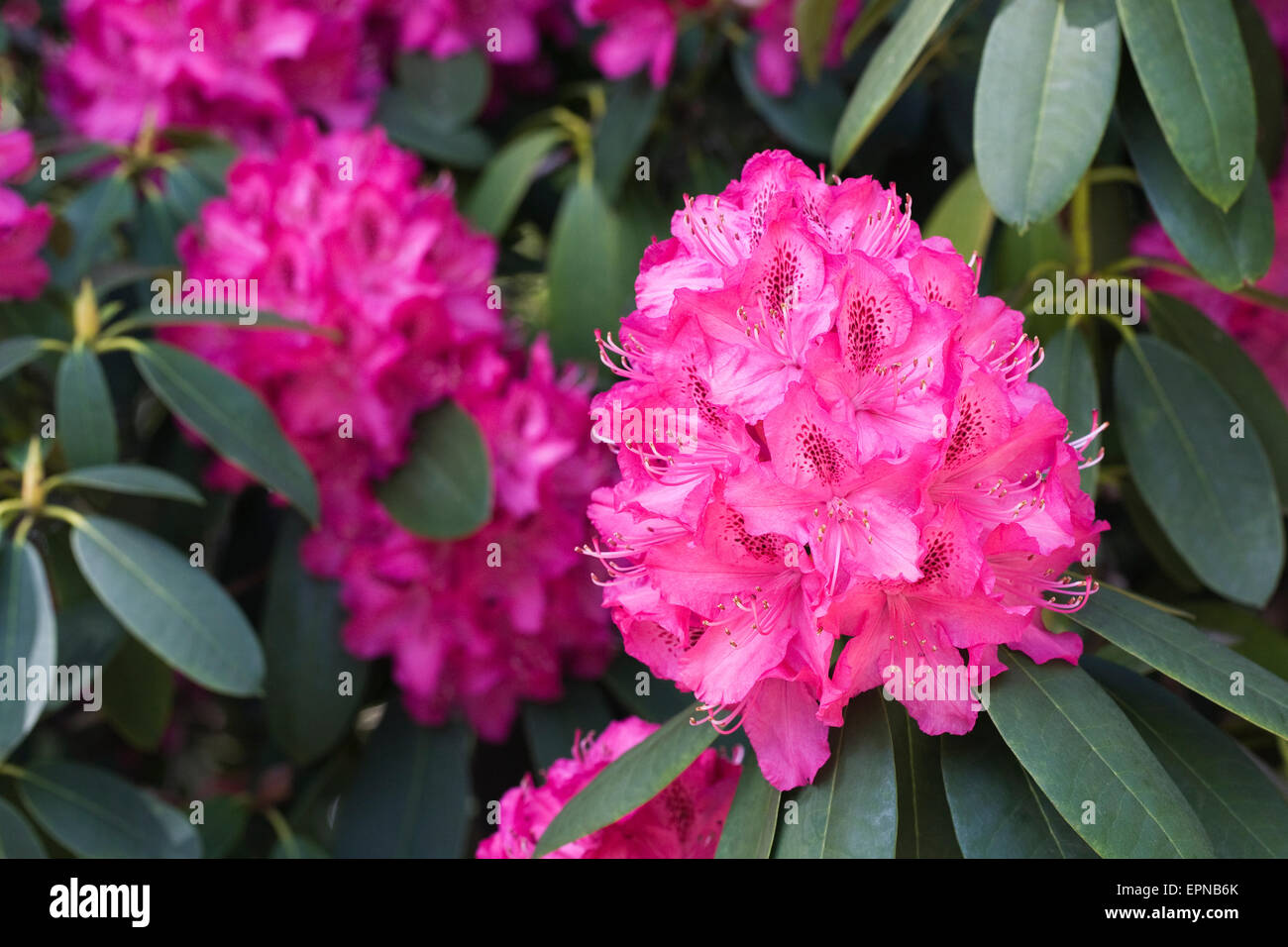 Large magenta pink Rhododendron. - Stock Image