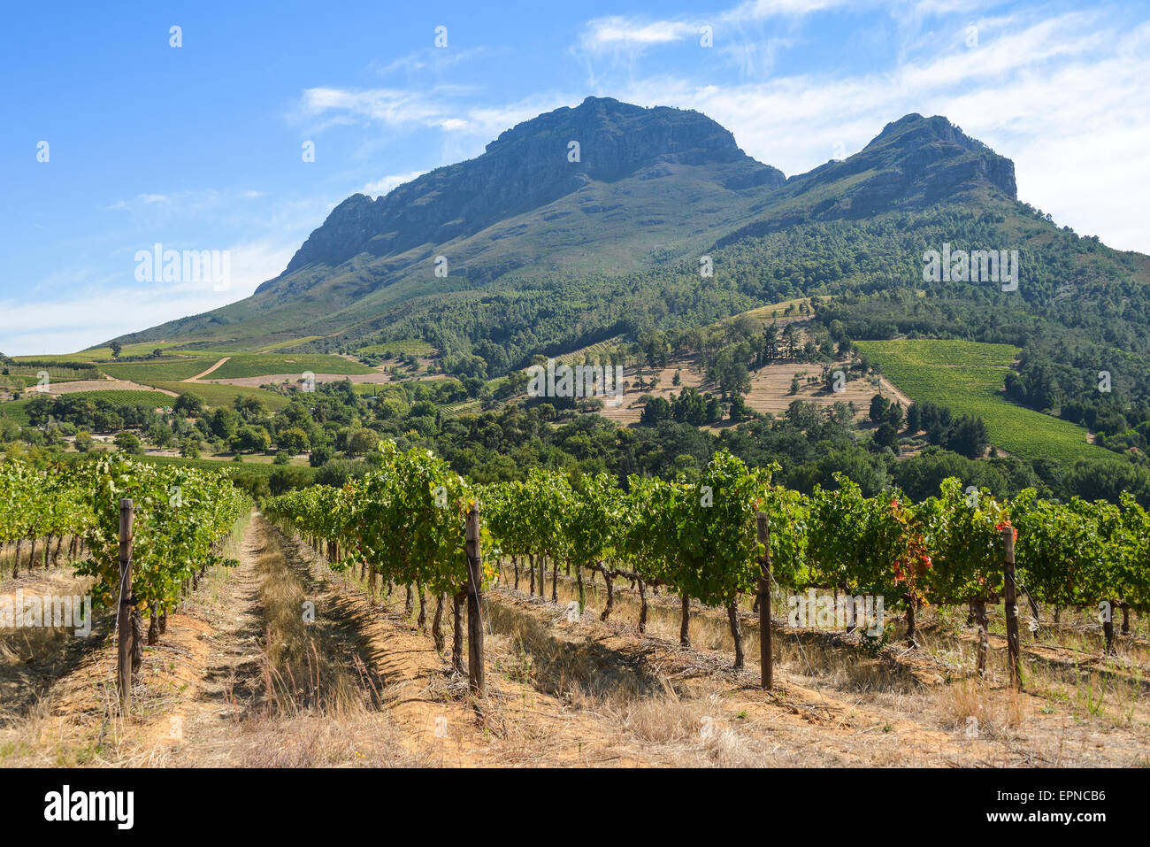 Vineyard in Stellenbosch, Cape Winelands District, Western Cape Province, Republic of South Africa - Stock Image