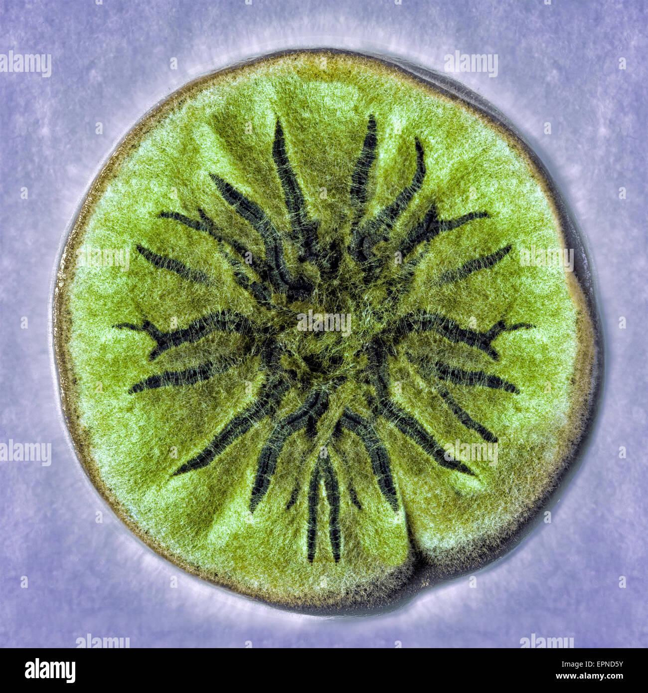 macro shot of fuzzy mold - Stock Image