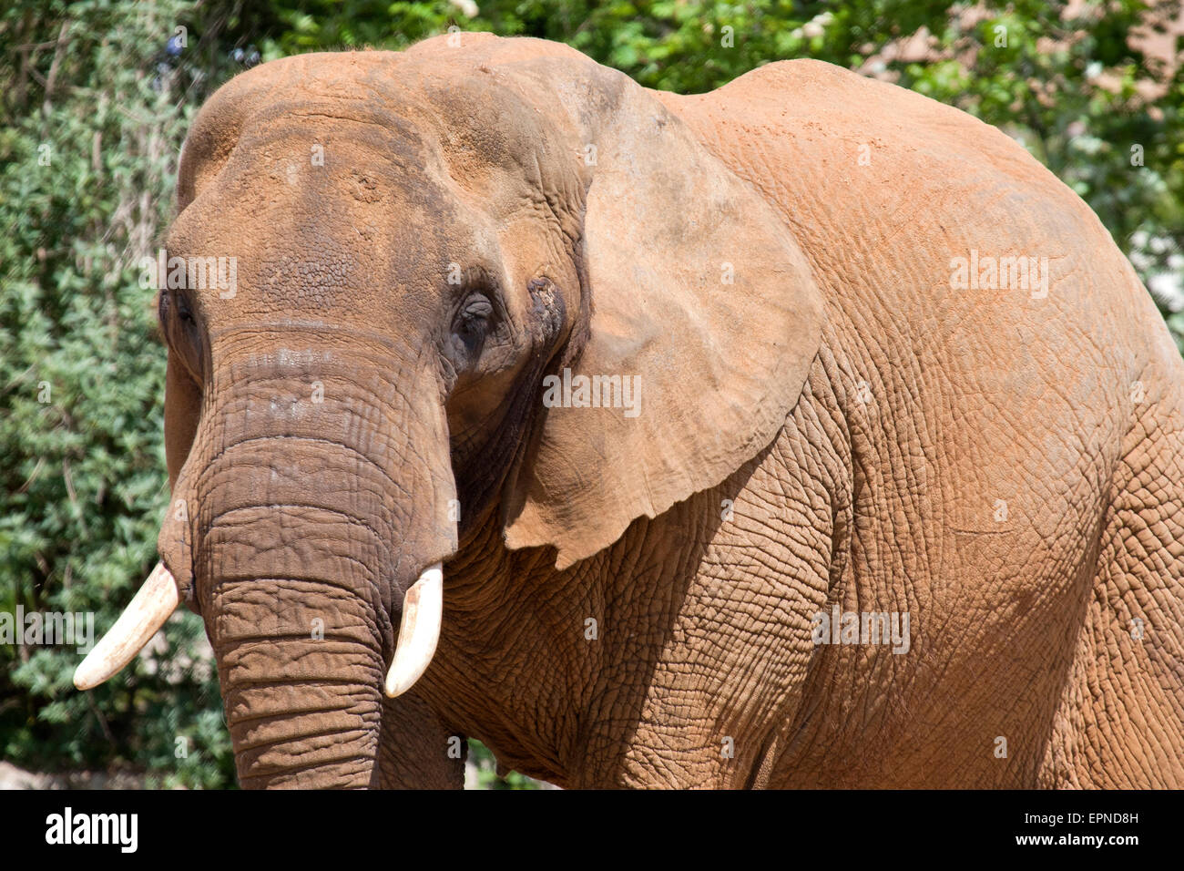 A head shot of an African Elephant - Stock Image