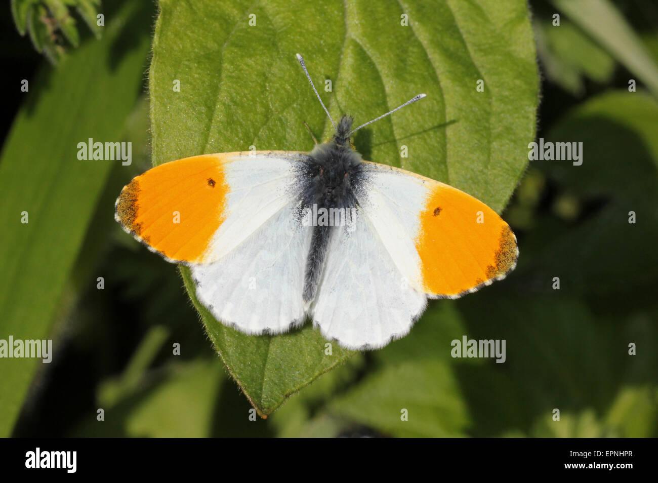 Orange Tip Anthocharis cardamines - male Stock Photo