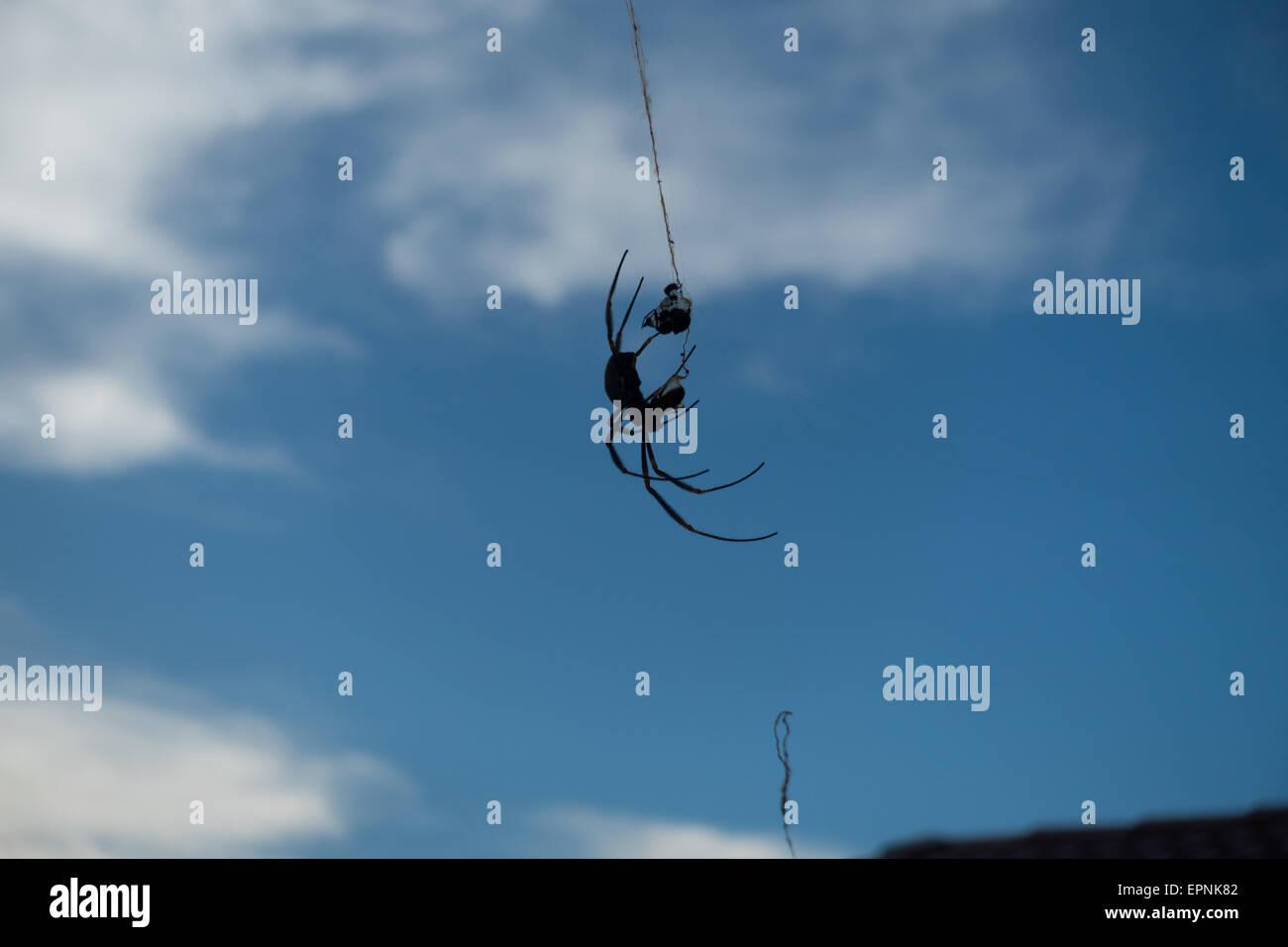 Australian Spider against Blue Sky - Stock Image