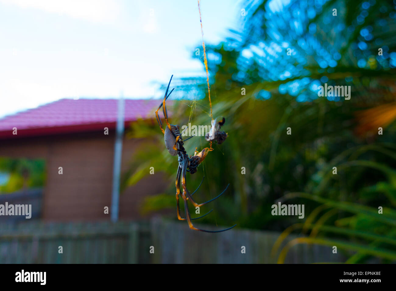 Australian Spider with catch in Backyard - Stock Image