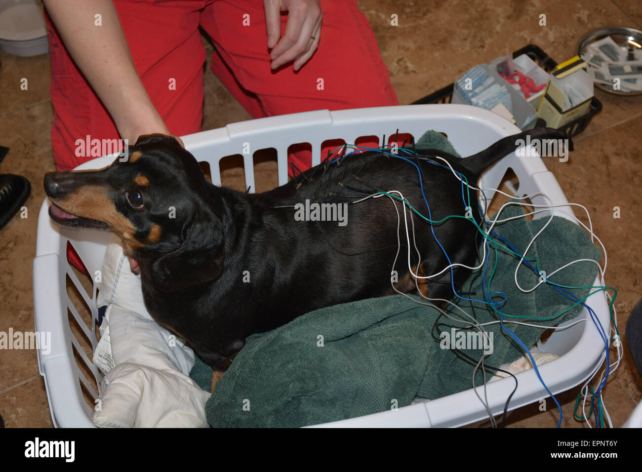 Having acupuncture performed on our miniature dachshund in Ontario Canada - Stock Image
