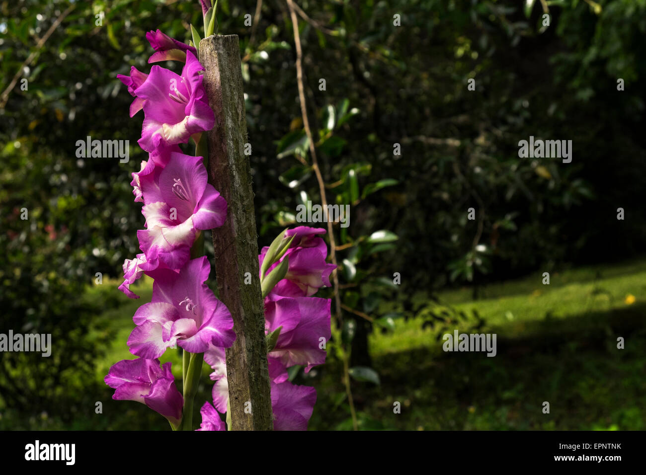 Pink gladioli in the garden supported with a wooden post, Awapiriti farm, Murchison, New Zealand - Stock Image