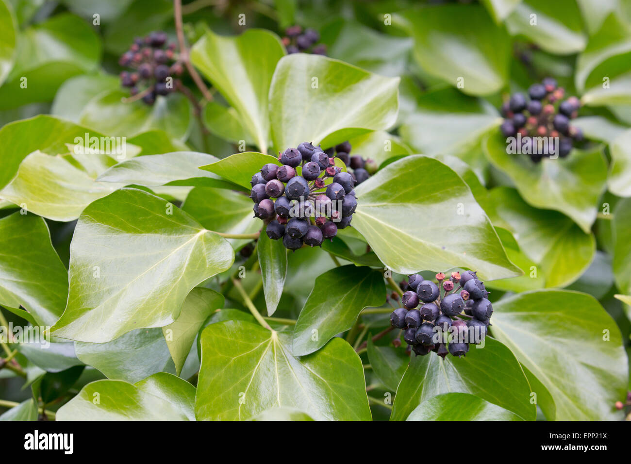 Ivy Hedera helix leaves and black berries in woodland UK Stock Photo