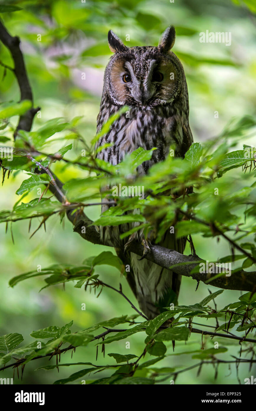 Long-eared owl (Asio otus / Strix otus) perched in tree in forest - Stock Image