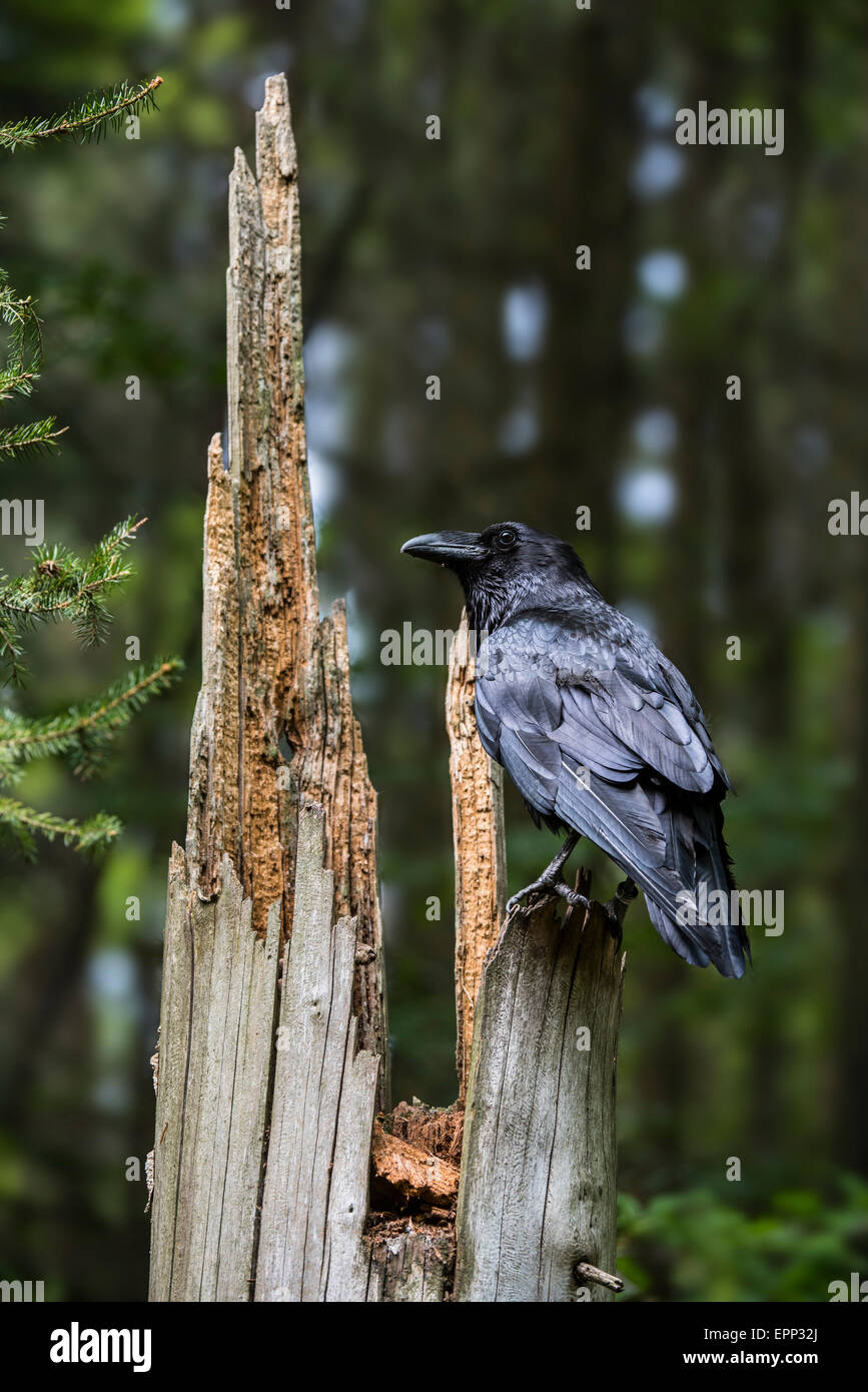 Common raven / northern raven (Corvus corax) perched on tree stump in coniferous forest - Stock Image