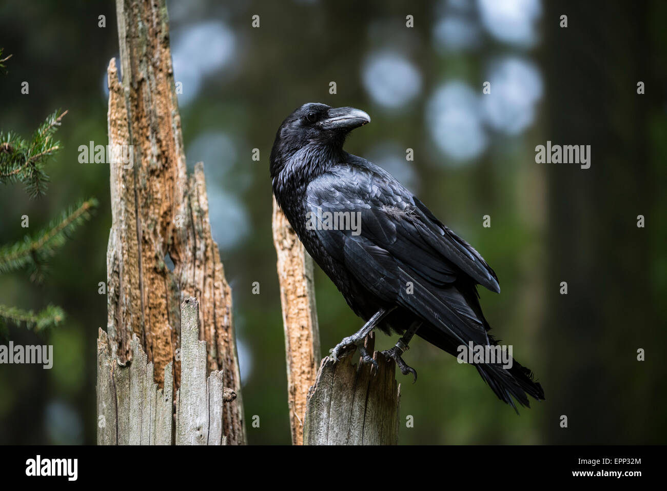 Common raven / northern raven (Corvus corax) perched on tree stump in forest - Stock Image