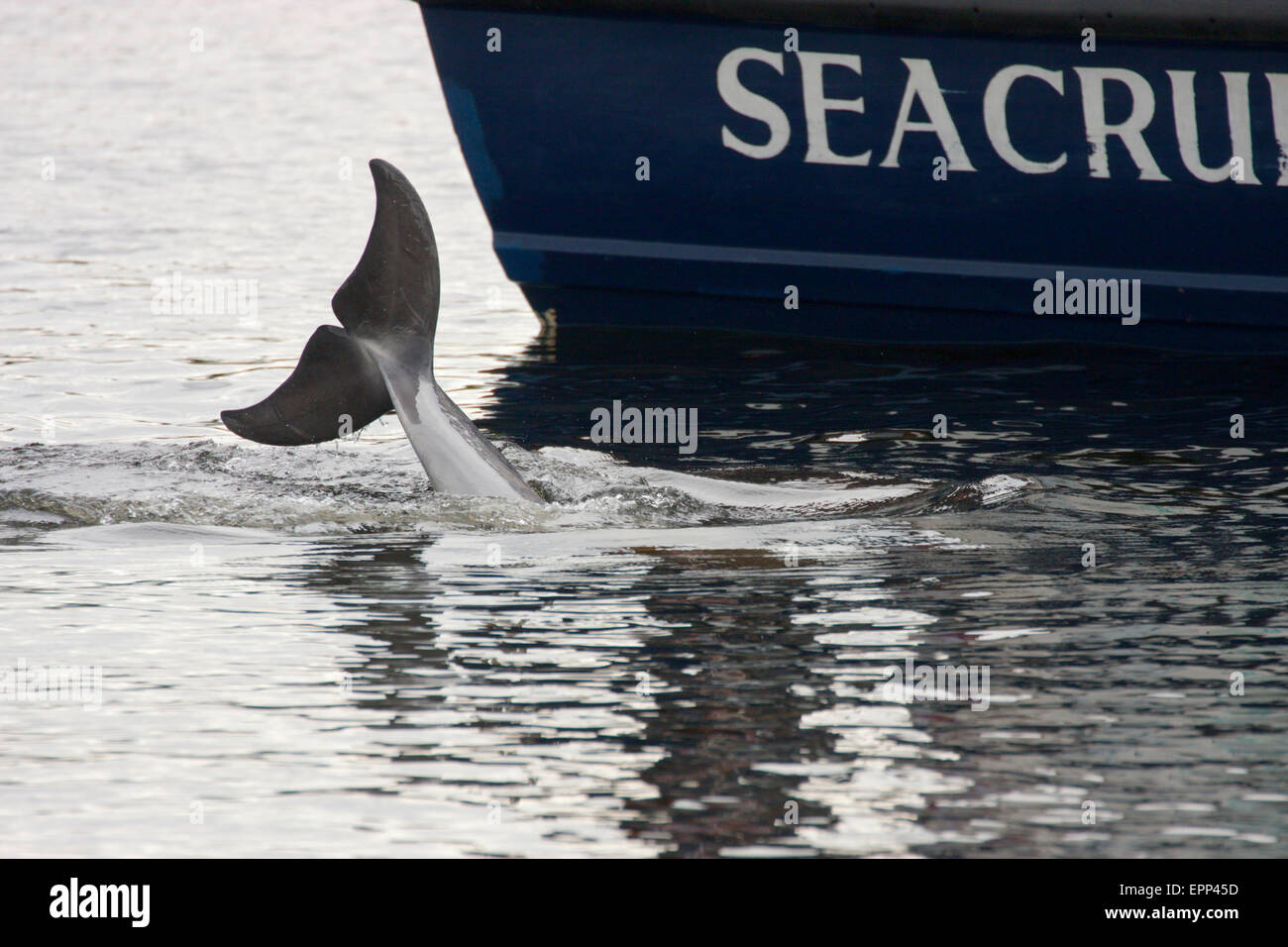Bottlenose dolphin (Tursiops truncatus) diving alongside a dolphin watching boat, Moray Firth, Scotland, UK - Stock Image