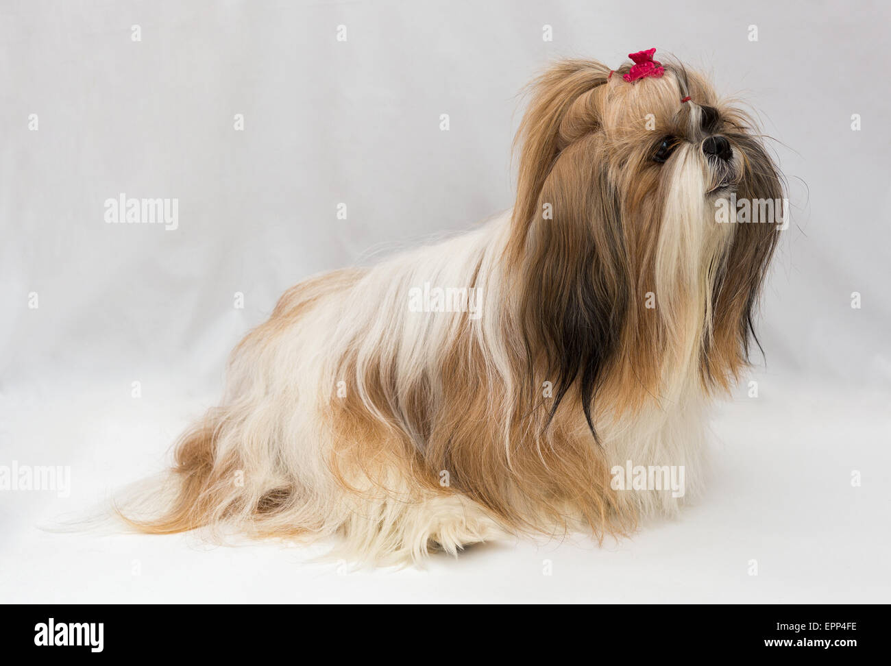 Beautiful Small Wire Hair Dog Breeds Component - Electrical Diagram ...