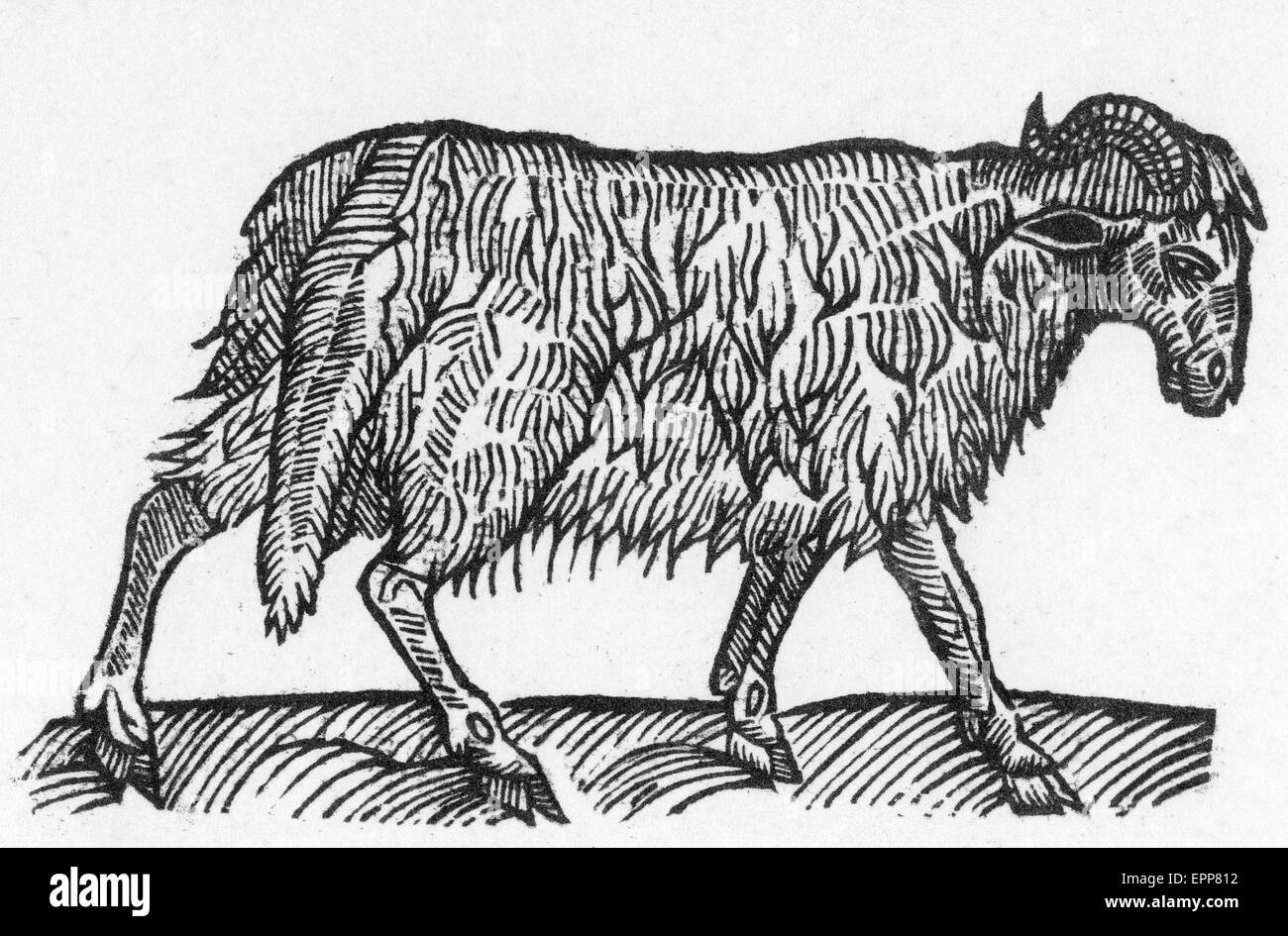 SHEEP from The Countreyman's Jewel by Leonard Mascal published in 1680 - Stock Image
