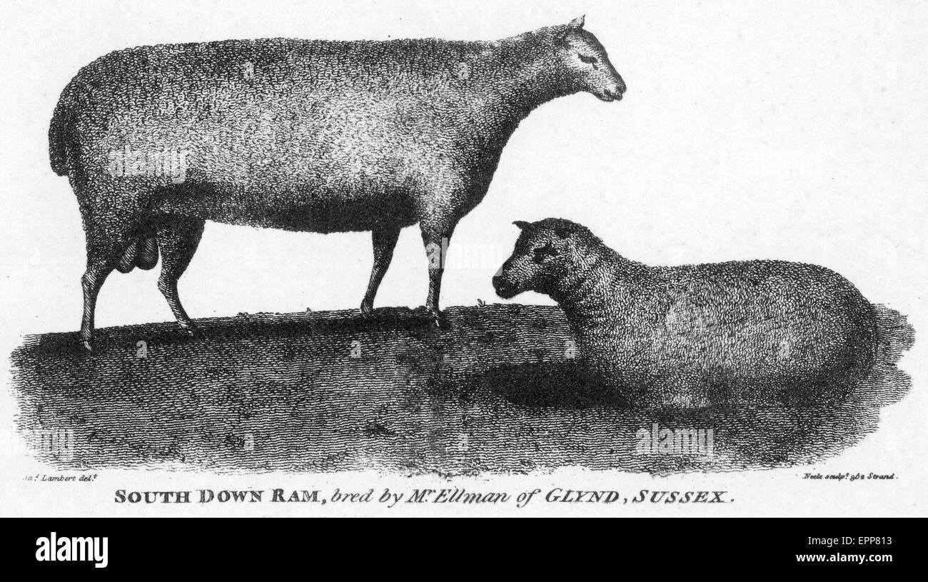 SOUTH DOWN RAM from Young's 'General View of Agriculture in Sussex ' published in 1808. - Stock Image