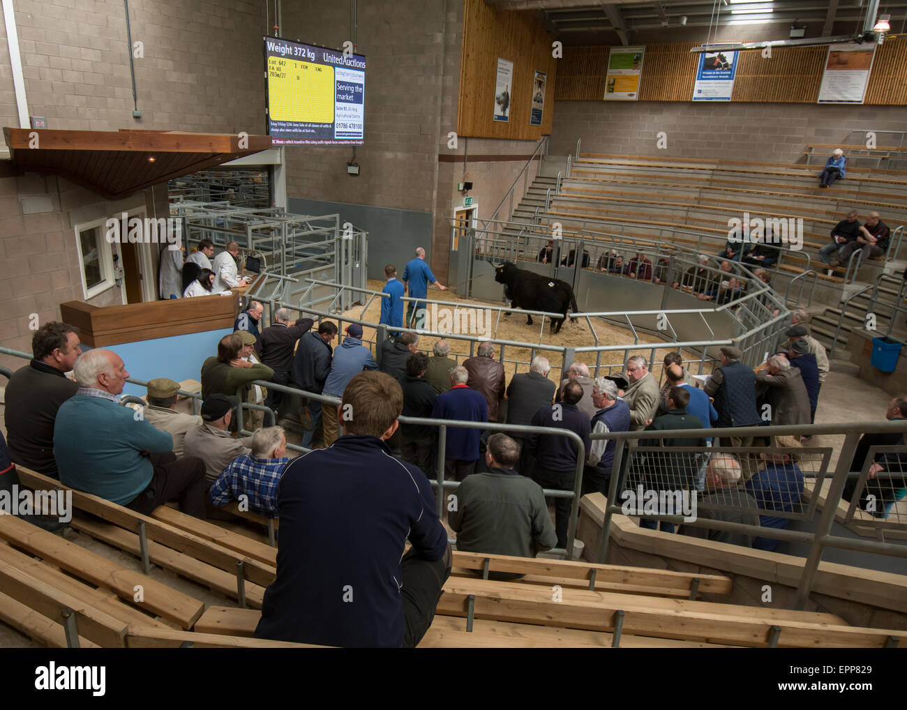 Sale of cattle at United Auctions, Stirling, Scotland, UK - Stock Image