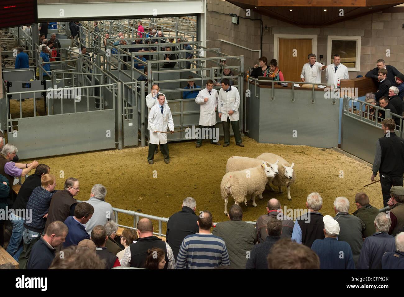 Sale of breeding Sheep at United Auctions, Stirling, Scotland, UK - Stock Image