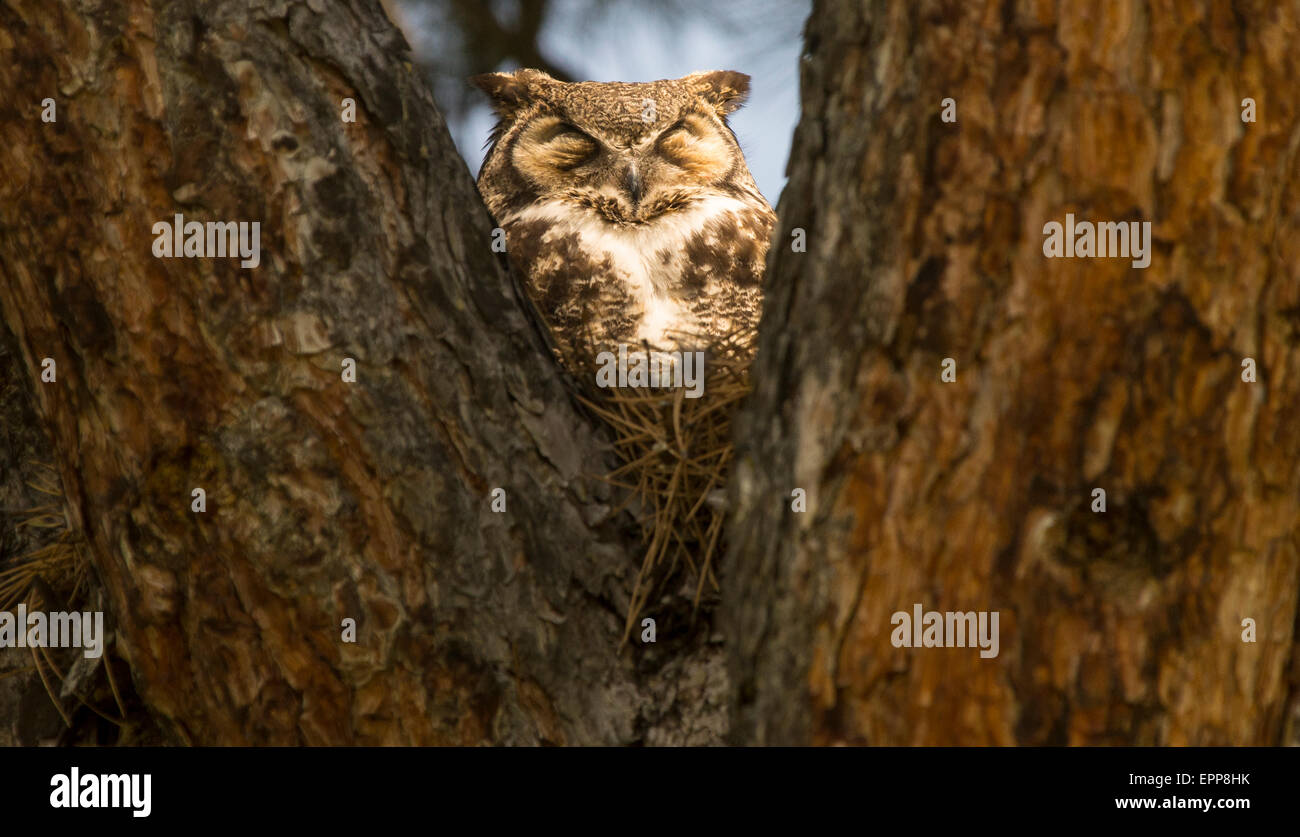 Owls, Great Horned Owl sitting on nest of a Pine Tree Cavity with spot light Boise, Idaho USA - Stock Image
