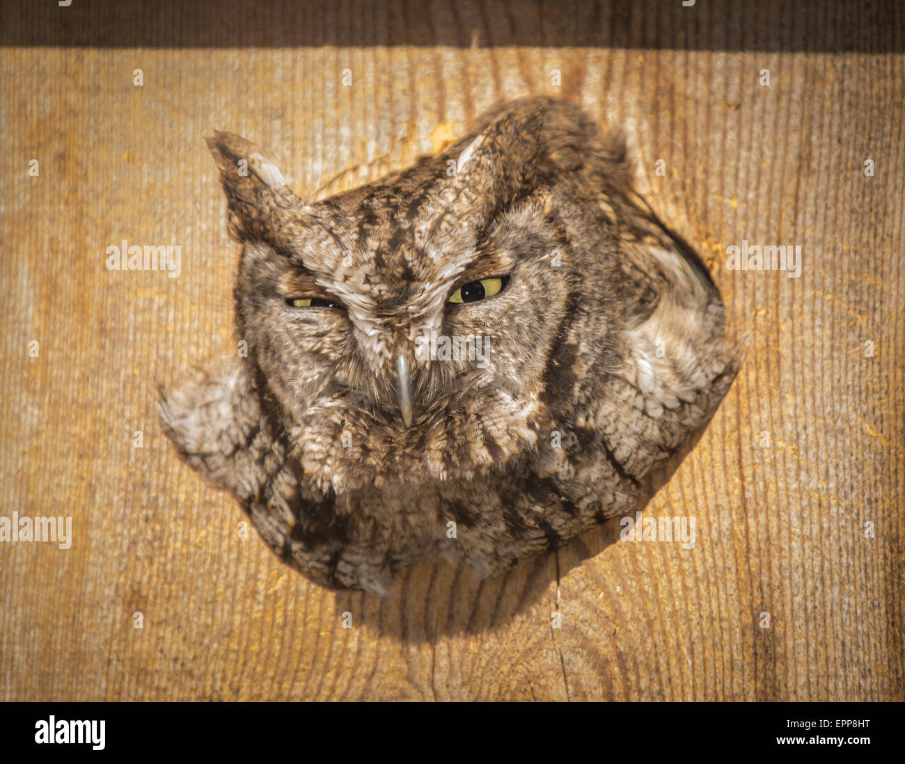Screech Owl nesting and perched in a Wood Duck box.Boise,Idaho USA - Stock Image