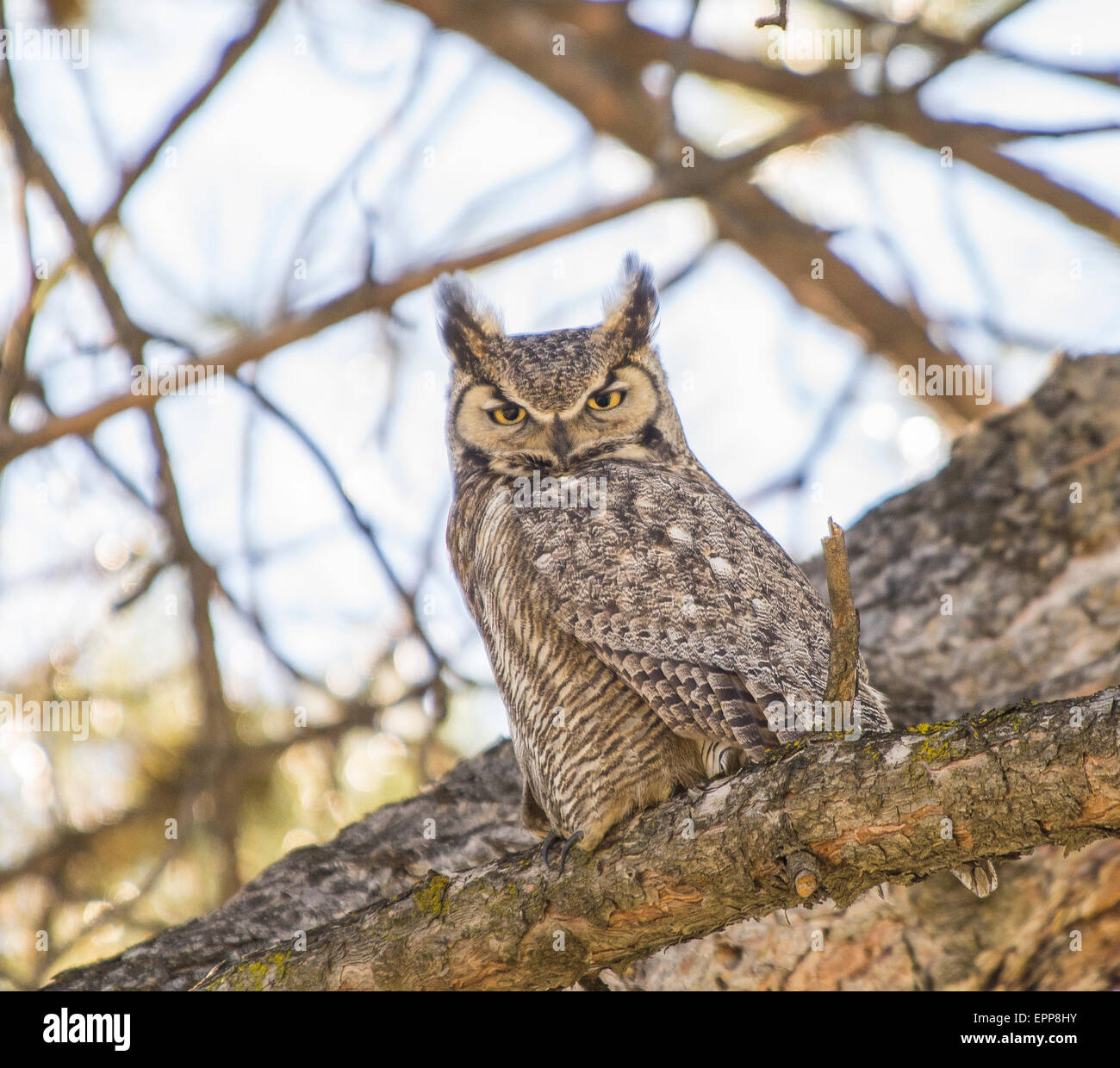 Owls,Great Horned Owl perched on a pine tree limb. Boise, Idaho,USA - Stock Image