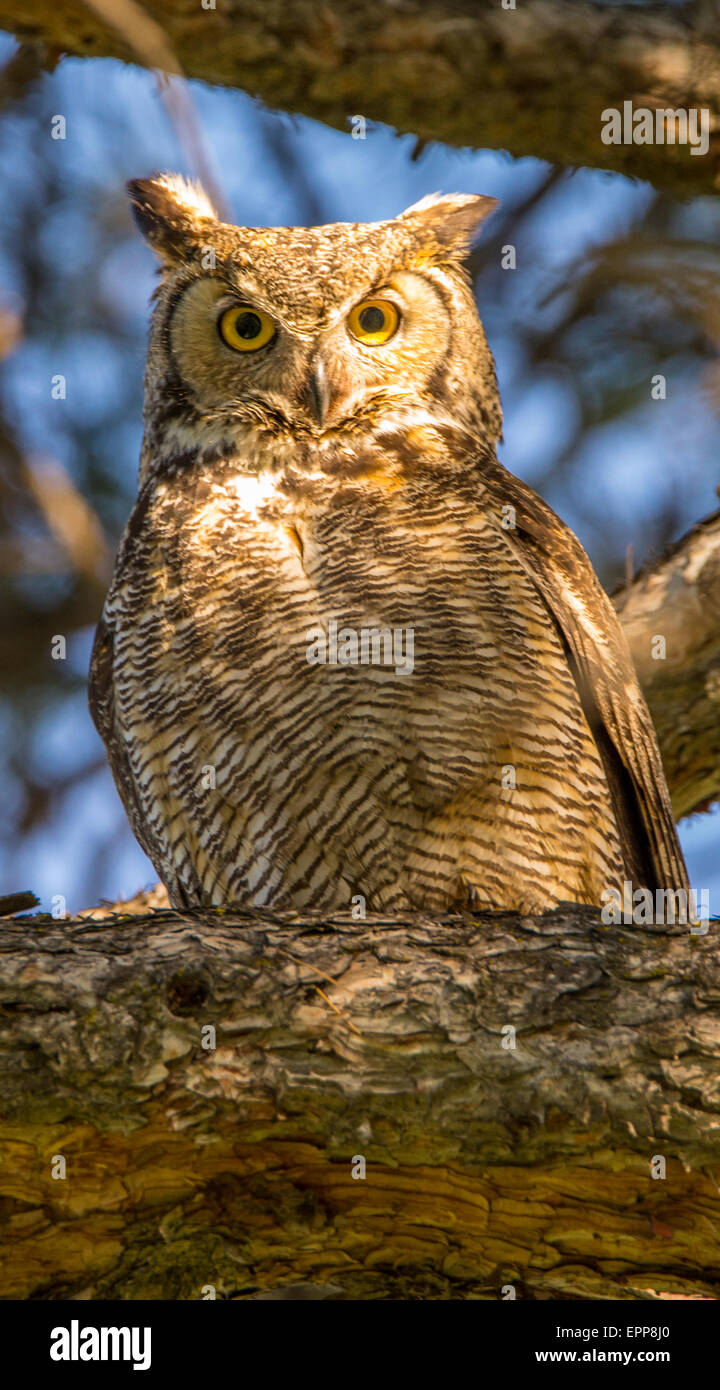 Owls, Great Horned Owl perched on a pine tree branch in beautiful light and golden eyes. Boise, Idaho, USA - Stock Image