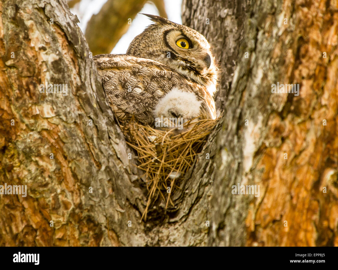 Owls, Great Horned Owl and new born Owlet in nest of a pine tree. Idaho - Stock Image