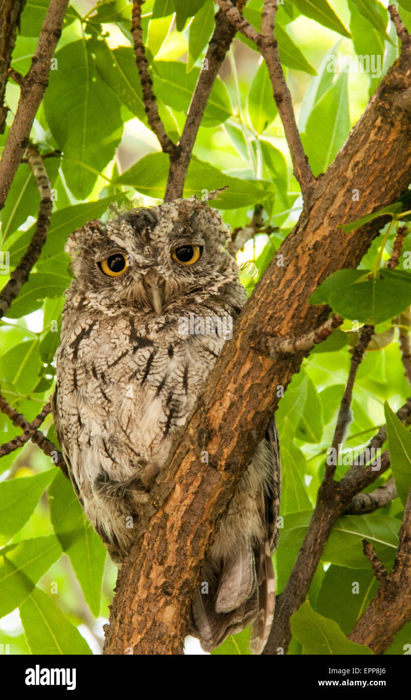 Owls, Western Screech Owl perched on a tree branch. Idaho - Stock Image