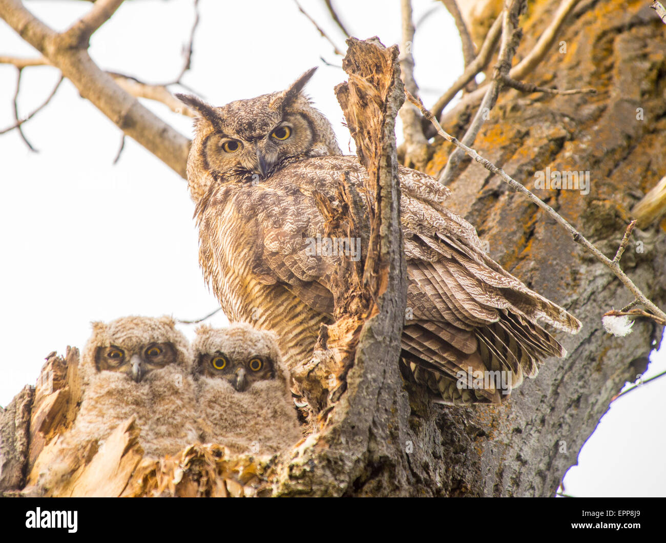 Owls, Great Horned Owl and new born Owlets perched in nest of tree cavity. Bose River Greenbelt, Boise. Idaho - Stock Image
