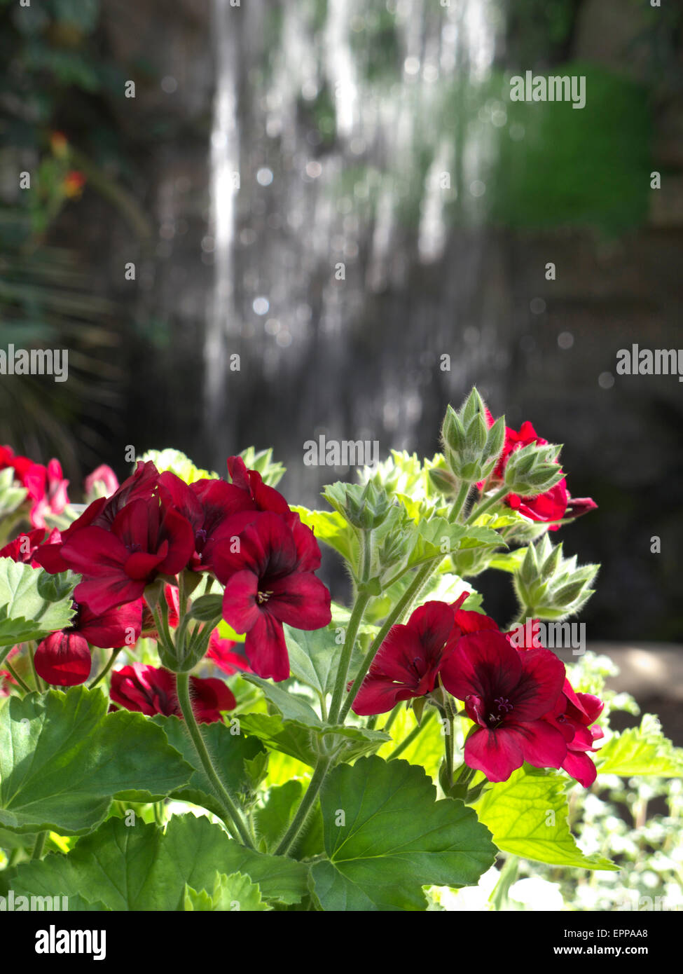 Close view on Pelargoniums growing in a lush tropical situation with waterfall behind - Stock Image