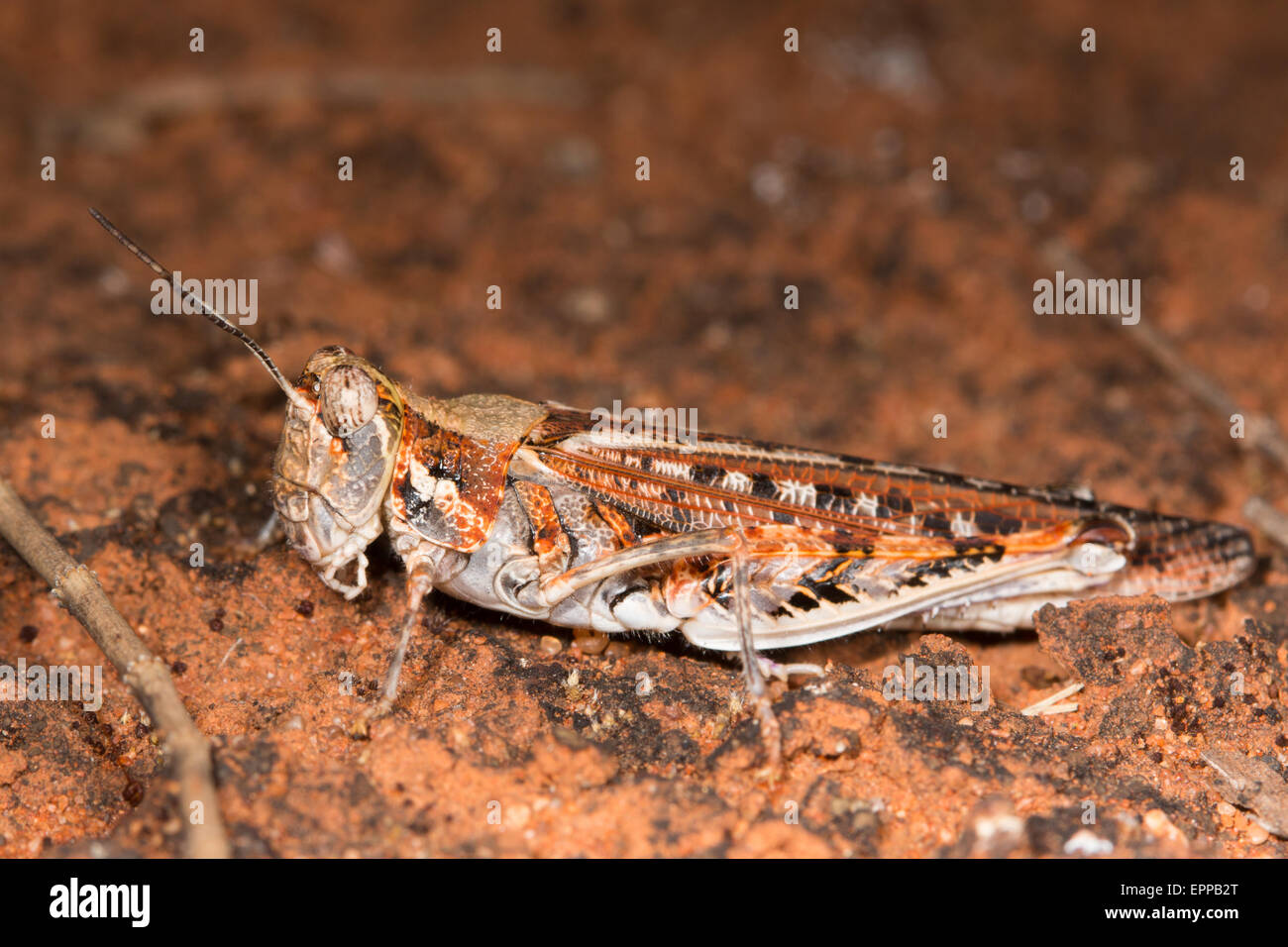 brightly coloured, but well camouflaged Grasshopper on the red sand of an Australian desert - Stock Image