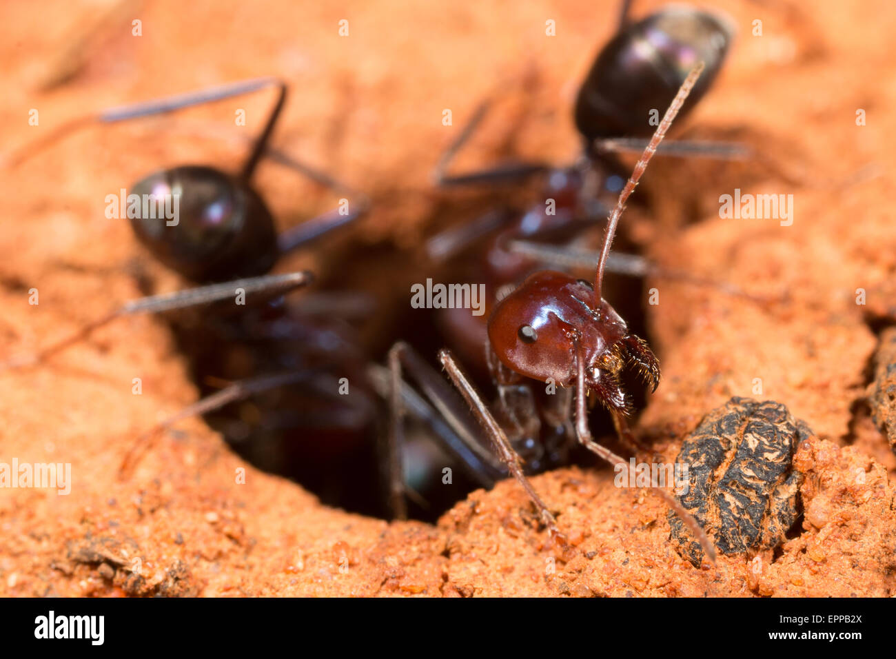 how to kill ants and nest