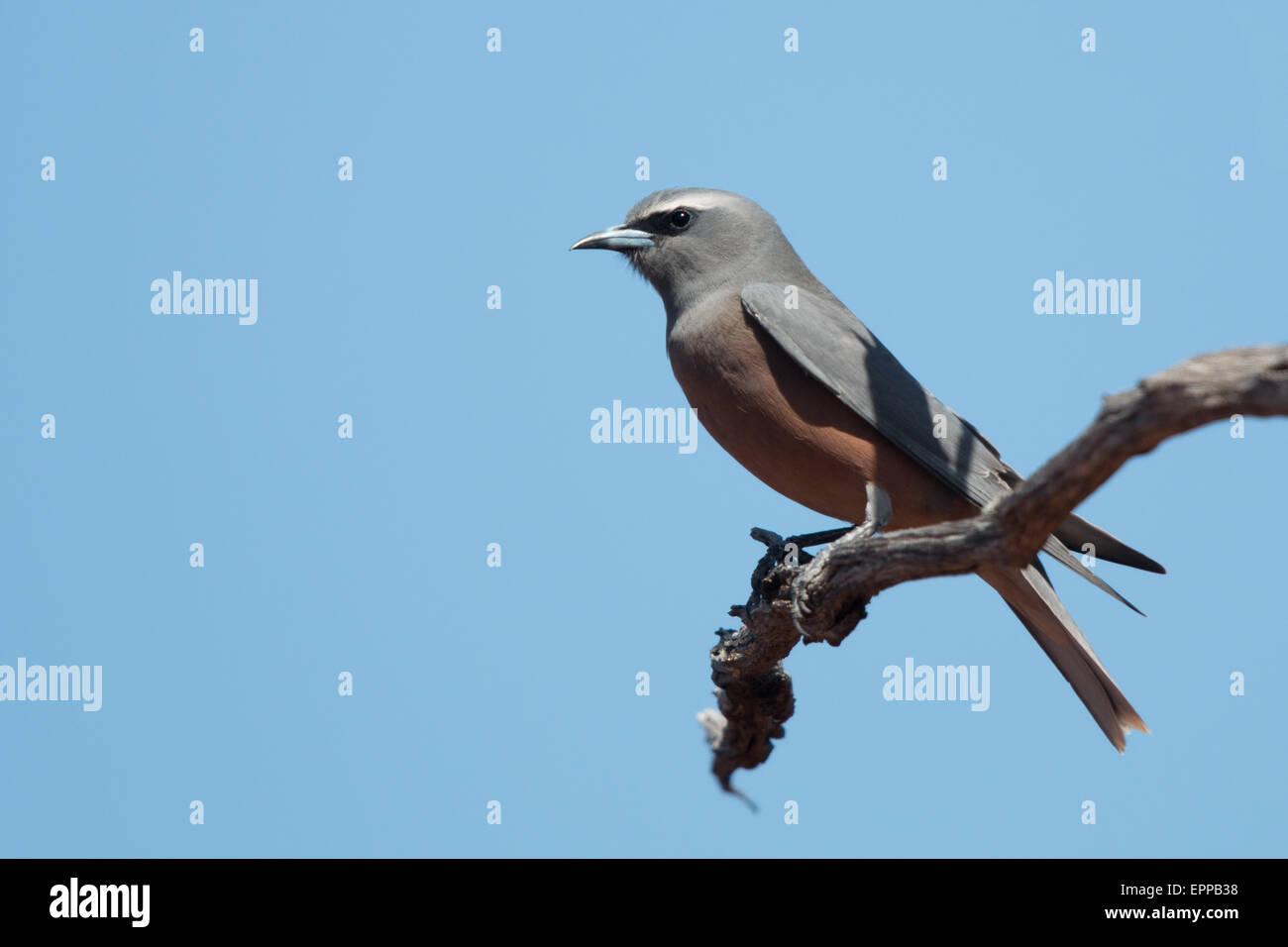 White-browed Woodswallow (Artamus superciliosus) - Stock Image