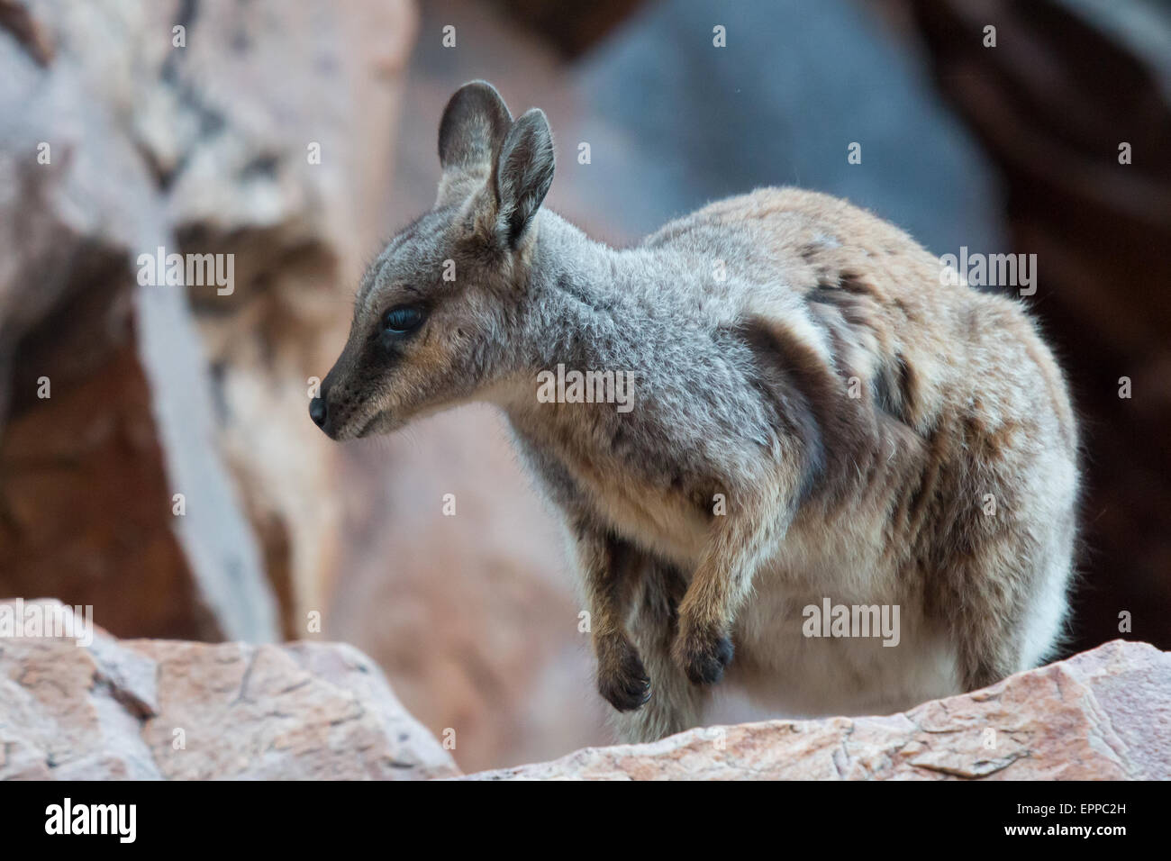 Black-footed Rock-wallaby (Petrogale lateralis) - Stock Image