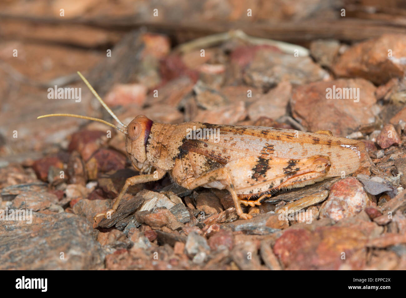 well camouflaged Grasshopper on gravel in an Australian desert - Stock Image