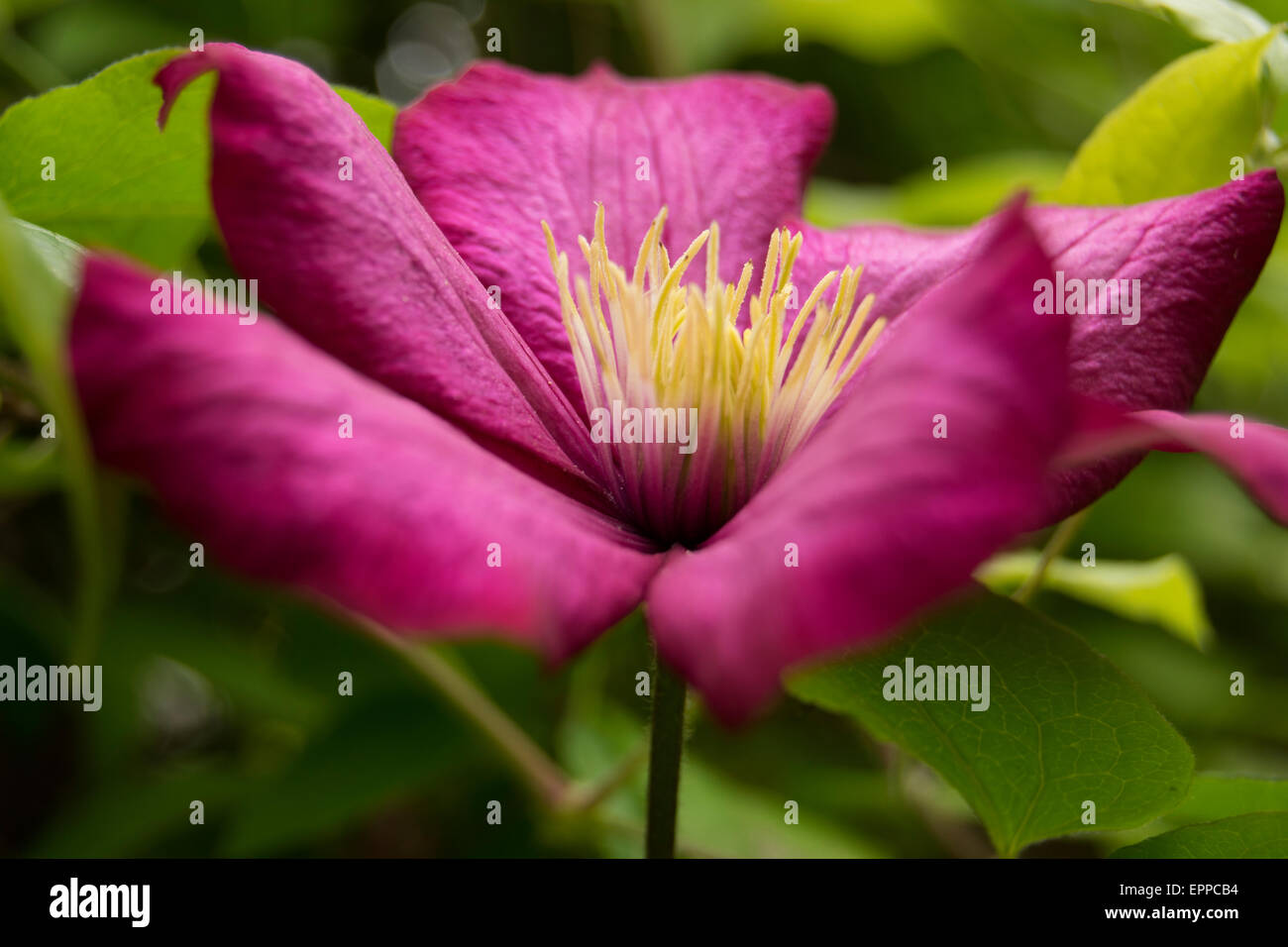 magenta flower with blurred green background - Stock Image