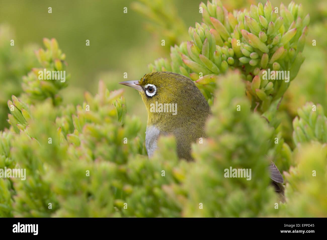 Silvereye (Zosterops lateralis) - Stock Image