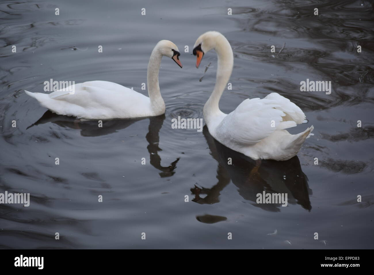 Swans in love Stock Photo