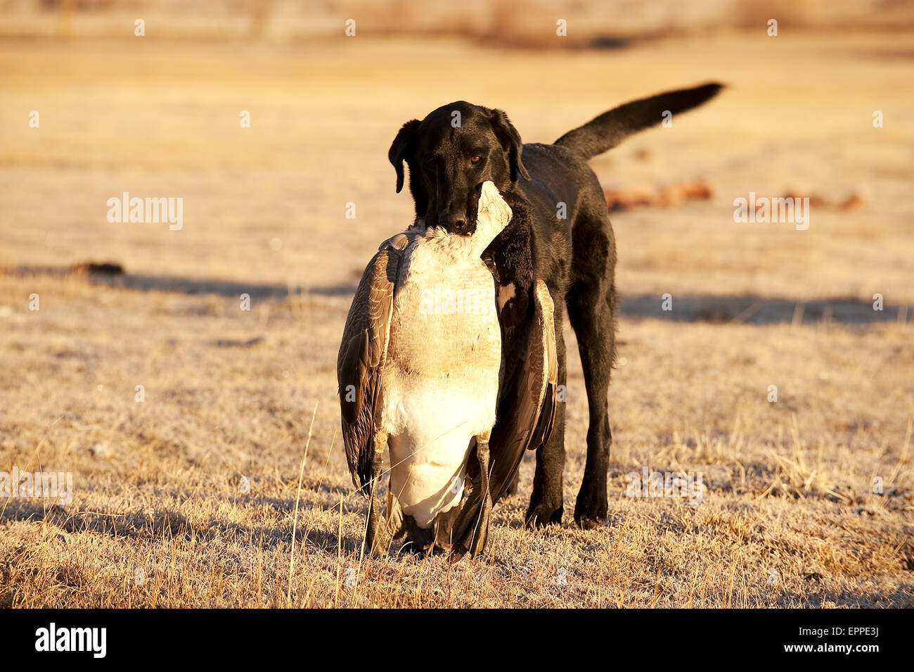 A trained hunting dog, retrieves a killed goose in Carson City, NV. - Stock Image