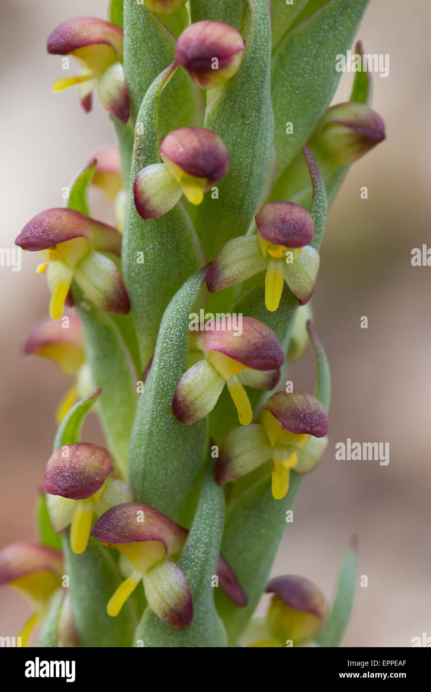 South African Orchid (Disa bracteata) flowers - Stock Image