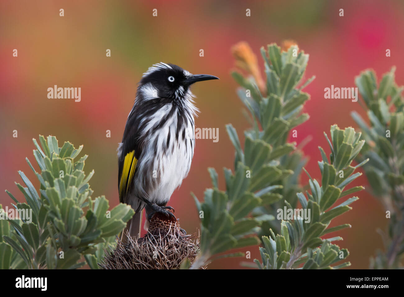New Holland Honeyeater (Phylidonyris novaehollandiae) - Stock Image