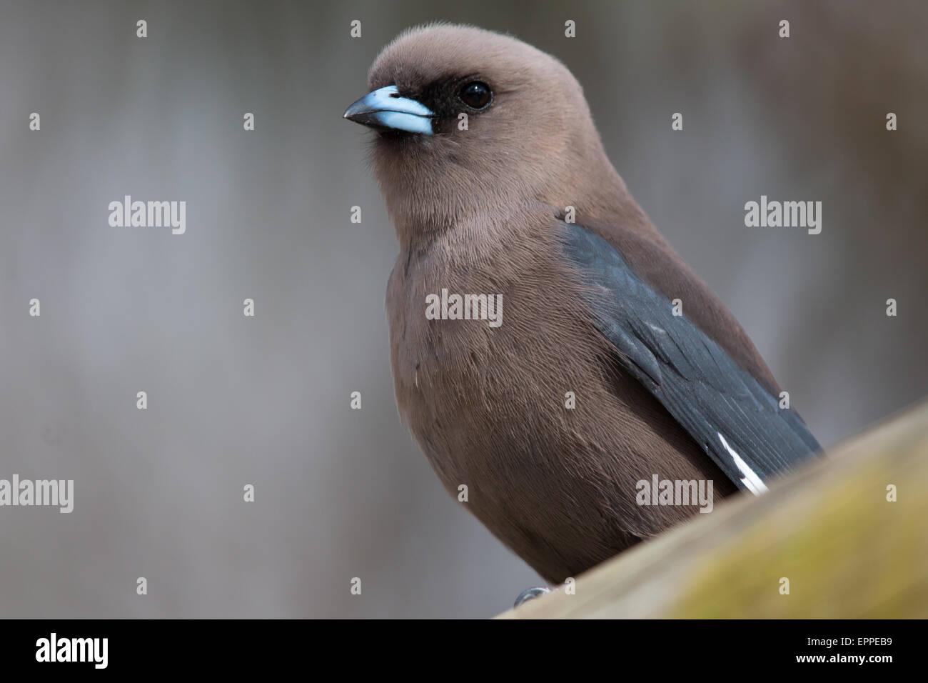 Dusky Woodswallow (Artamus cyanopterus) - Stock Image