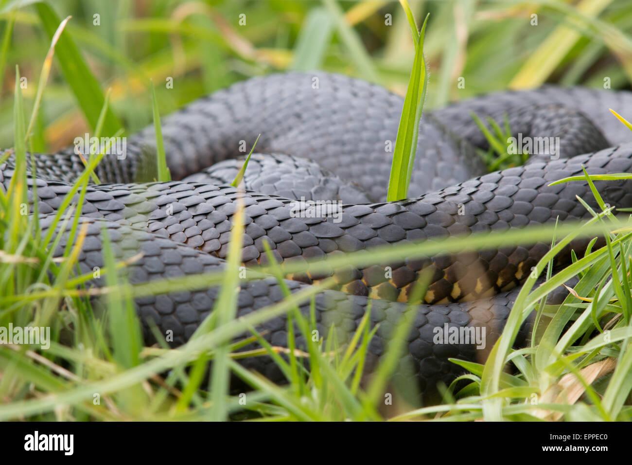 Tiger Snake (Notechis scutatus) basking in long grass - Stock Image