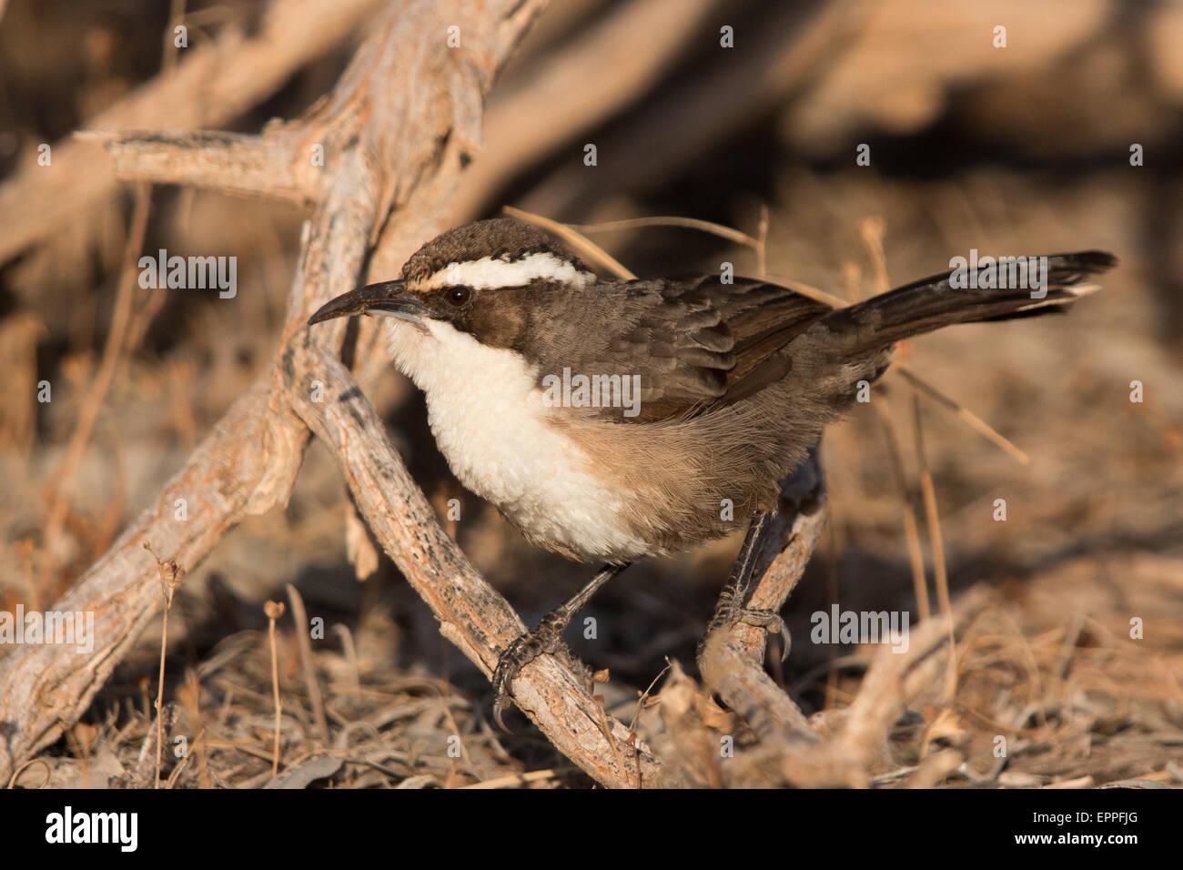 White-browed Babbler (Pomatostomus superciliosus) - Stock Image