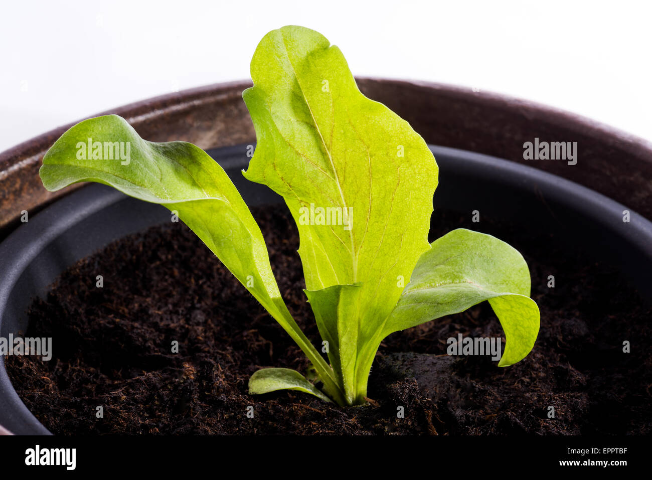Lettuce plant in a pot, something small grow big, new green small weak growth begin begin cutout white background - Stock Image