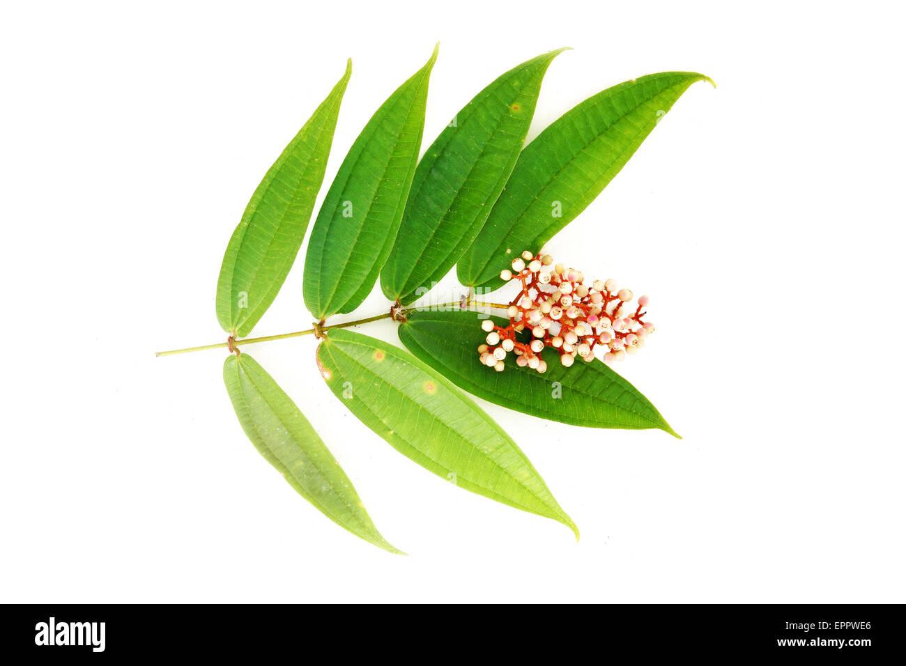 Diplectria glabra Melastomataceae vine - Stock Image
