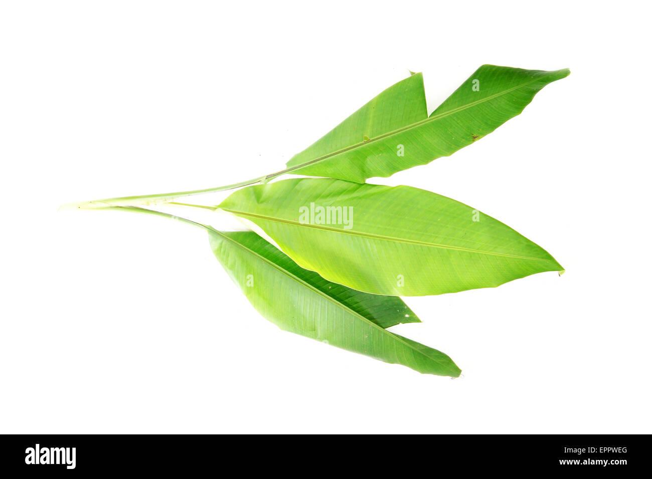 Musa beccarii Musaceae - Stock Image
