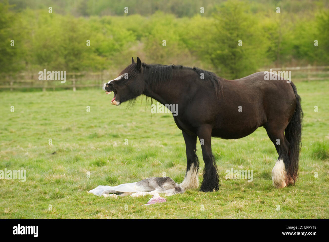 Horse mourning her dead still born foal - Stock Image