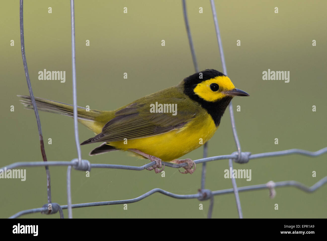 male Hooded Warbler (Setophaga citrina) - Stock Image