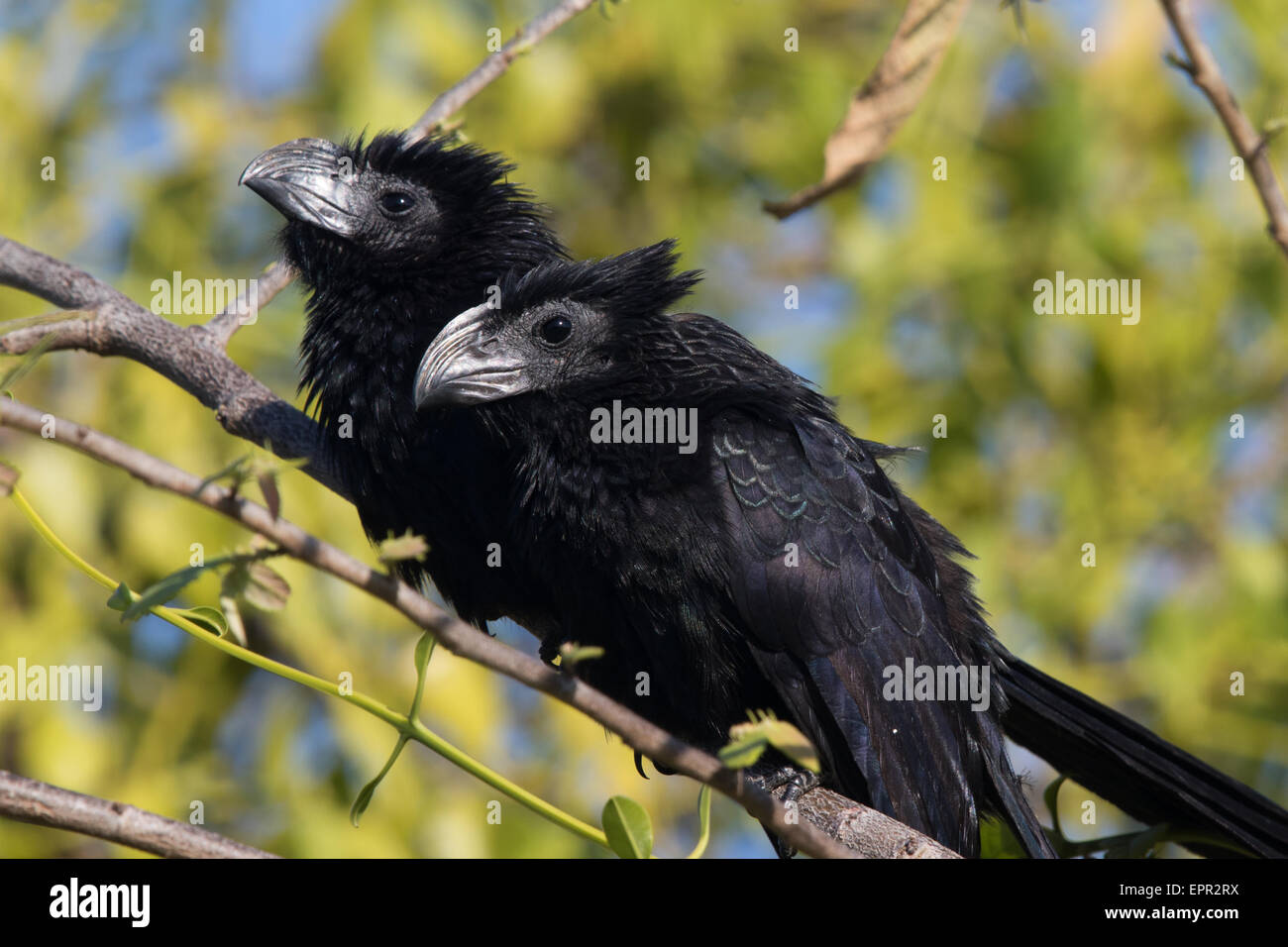 pair of Groove-billed Anis (Crotophaga sulcirostris) - Stock Image